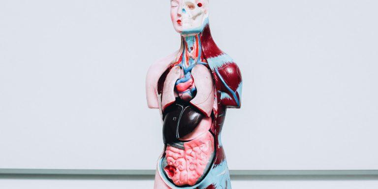 human-internal-organs-dummy-model-K5QU9AS